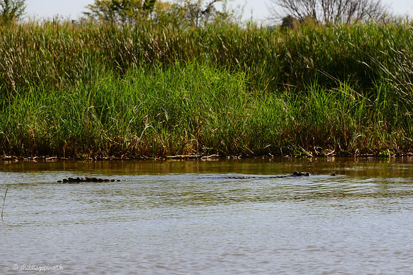 One of the many gigantic crocs in Lake Chamo - this one was at least 7 metres!