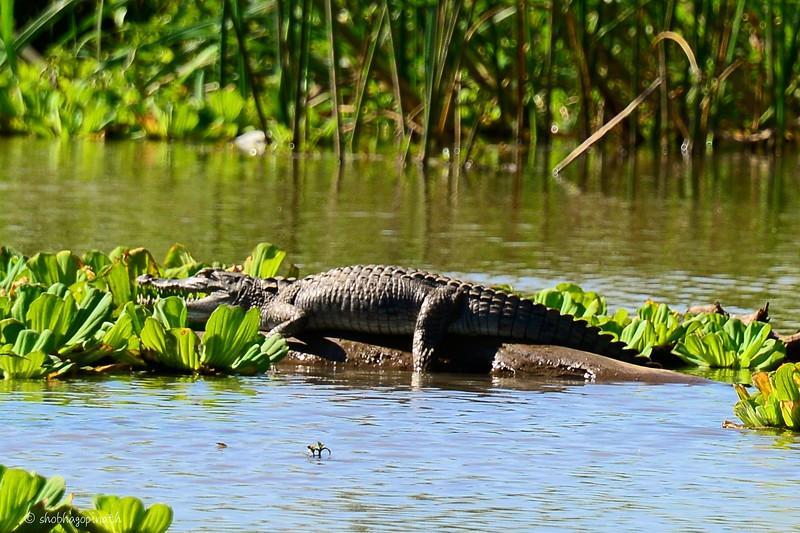 Baby croc sunning itself, Lake Chamo