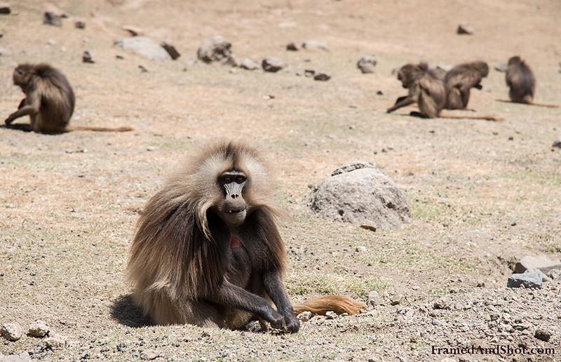 Ethiopian Baboon - Gelada Moneky