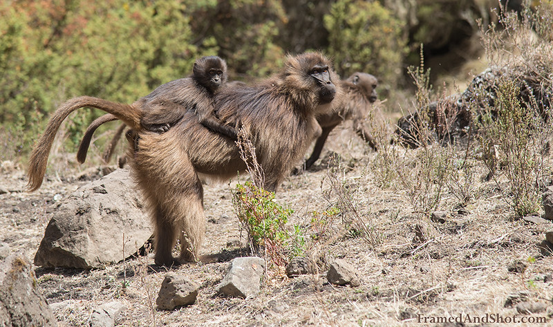 Ethiopia's gelada monkeys
