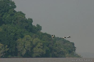 41 Tanameer kroonkraanvogels