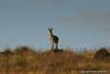 35  Sankaber  Klifspringer mannetje