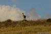 34  Sankaber  Klifspringer vrouwtje