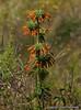 36  Simien flora