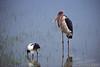 006 Ziway Maraboet en Ibis