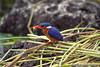 012 Awasa soort kingfisher