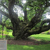 Owen Rose Garden Cherry Tree