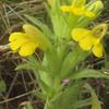 Yellow Glandweed (Parentucellia viscosa)