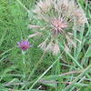 Salsify (Tragopogon porrifolius)