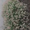 Rabbitfoot Clover (Trifolium arvense)