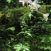Cascade Lily (Lilium washingtonianum)