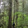 Dark trail through big evergreens