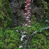Pink Pyrola (Pyrola asarifolia)