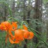 Columbia Lily (Lilium Columbianum)