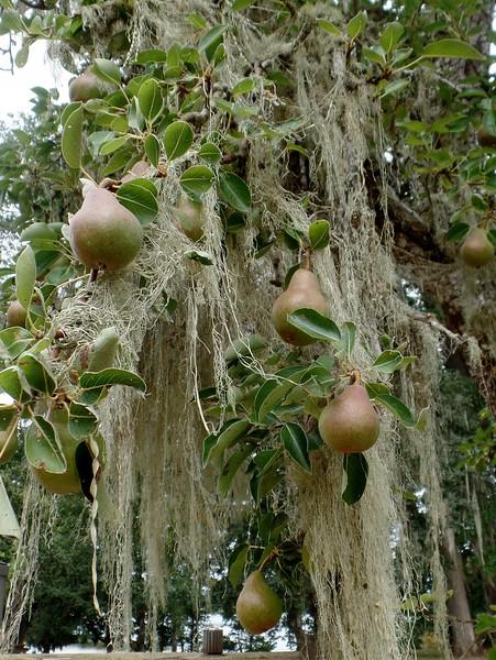 Lace Lichen (Ramalina menziesii) on Pear tree (Pyrus communis)