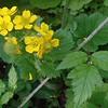 Woodland Buttercup (Ranunculus uncinatus)