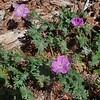 Oregon Geranium (Geranium oreganum)