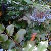 Holly-leaved Barberry aka Oregon Grape (Mahonia aquifolium)