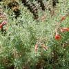 Hummingbird Trumpet (Epilobium canum)