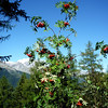 Look closely and you will see bunches of bright red berries!
