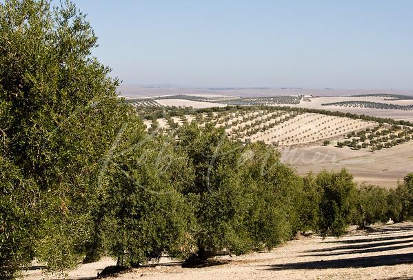 Olive Trees near Seville, Spain