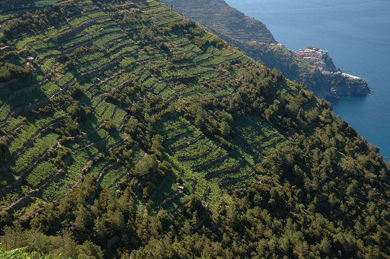 Terraced hillsides with Manarola in the background.