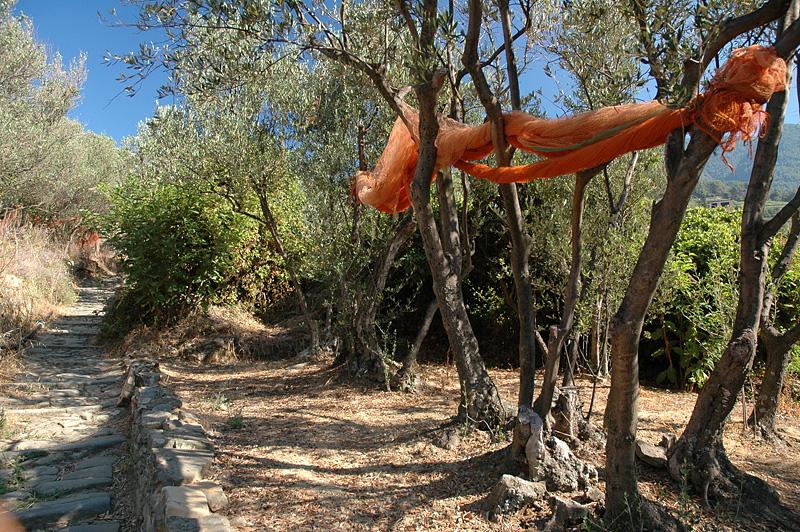 Nets to harvest olives.