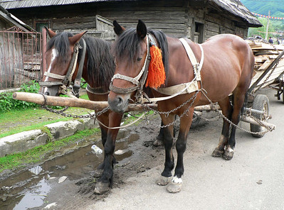 Horses taking a rest in Maramures
