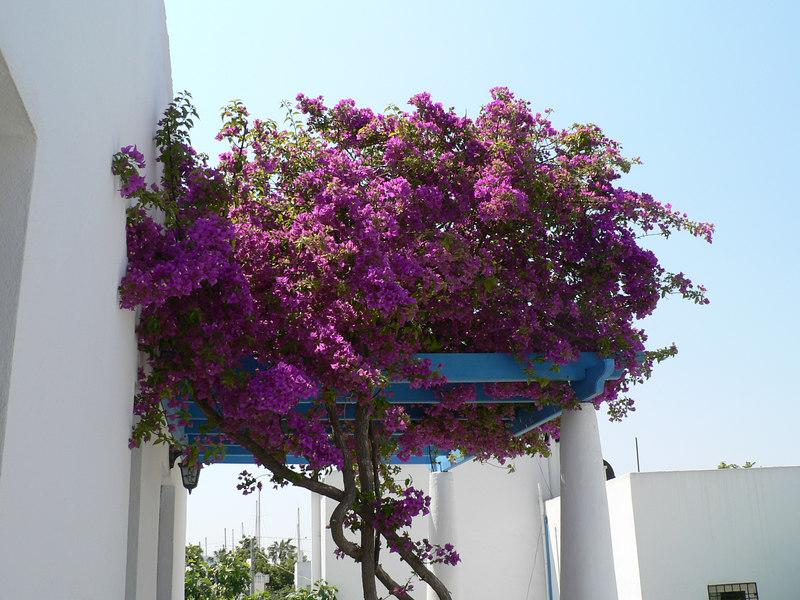 Bougainvillea on the balcony next to mine