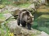 Bear in the Alpine Zoo