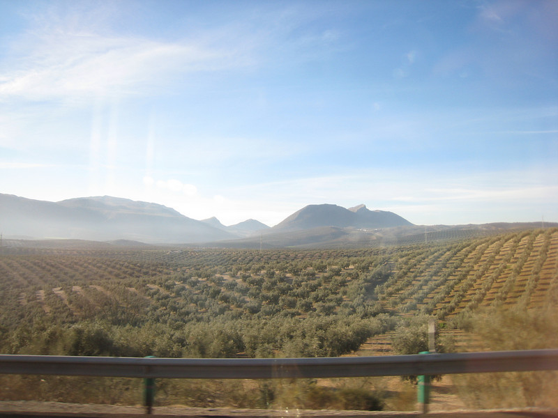 Olive orchards on the way to Granada