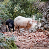 Live sheep on forest path