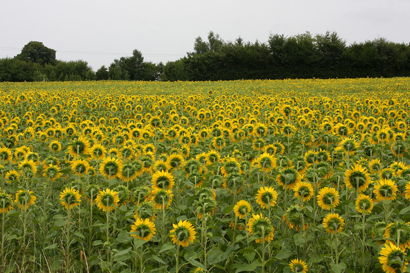 French sunflowers