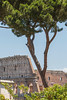 Pretty tree and the Roman Coliseum.