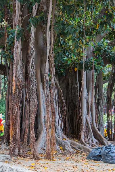 Banyan tree in Messina, Sicliy.