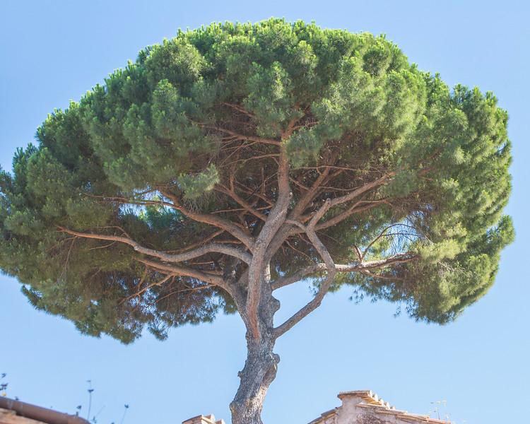 Beautiful tree seen near Palantine Hill...