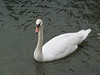 Swan along the Rhine