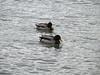 Ducks along the Rhine