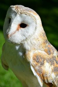Pretty barn owl