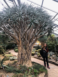 An aloe tree in Bonn's Botanical Garden; didn't know they existed.