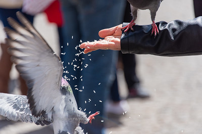 Hand feeding pigeon in Amsterdam.