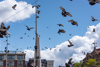 Pigeons flying around in Amsterdam.