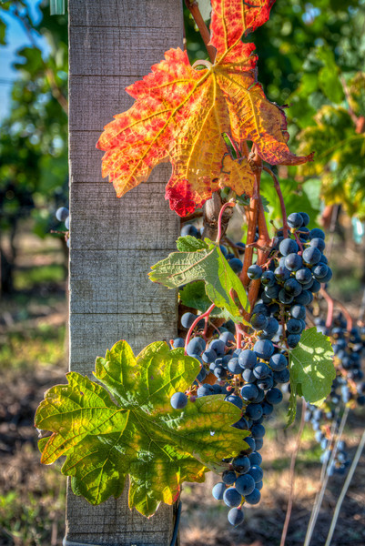 We were in St. Emilion just around the time of the year where the grapes have harvested and are getting ripe for the picking.