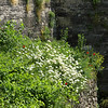 Poppies and daisies grow on one of the castle walls inside the moat.