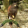 Harris Hawk, These were the hawks we flew on the walk.