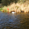 a swan in the River Cong, which flows through the town