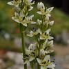 Swertia variabilis