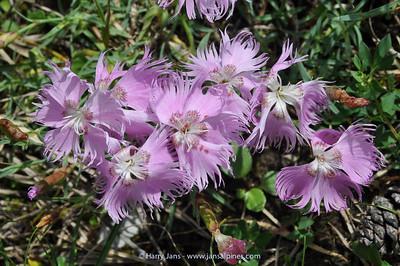 Dianthus monspessulanus subsp. sternbergii