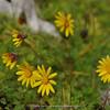 Ursinia alpina