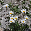 Leucanthemopsis alpina (syn. Chrysanthemum alpinum)